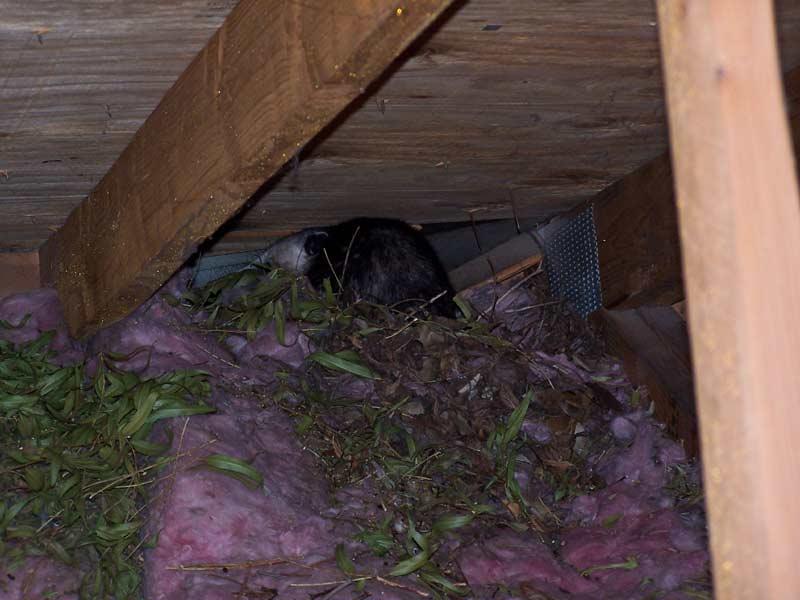 Abolish Pest Control Opossum Gallery