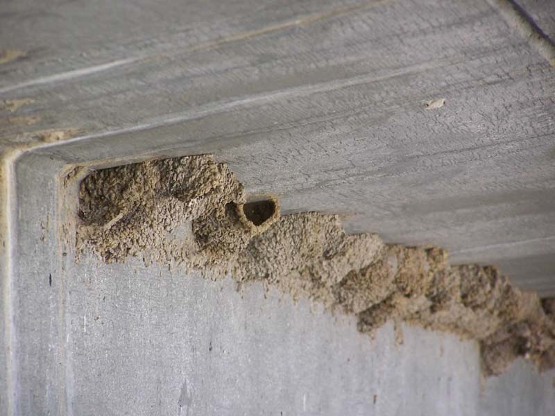 Swallow's nests are made of mud.