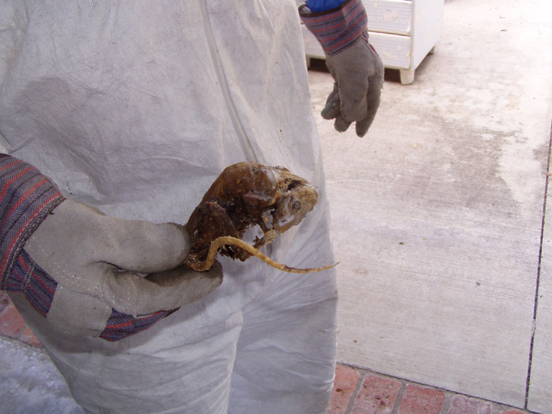 Abolish Pest Control Rat And Mice Gallery